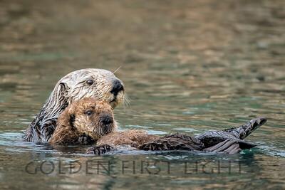 Southern Sea Otter and Pup, Morro Bay California