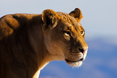 One of my favorite pictures taken to date of any style.  The lighting, the look on the Lioness' face, the sharpness of the photograph, it all just combined to make this one an instant favorite for me.