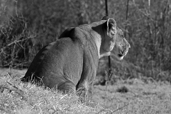 It appears the Lioness has spotted something interesting...