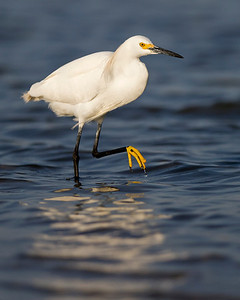 snowy egret, June on Pea Island, Hatteras, NC