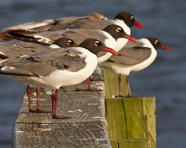 laughing gull line-up, June in Nags Head, NC