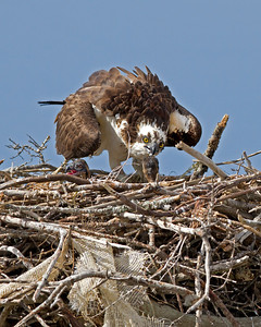 osprey feeding the chicks, June in Nags Head, NC