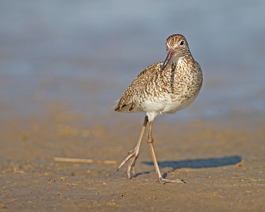willet mugging, June on Pea Island, Hatteras, NC