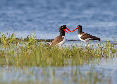 oyster catcher conference, June on Pea Island, Hatteras, NC