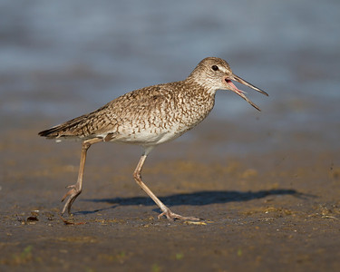 willet, June on Pea Island, Hatteras, NC