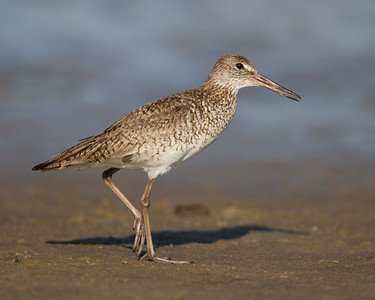 willet on the catwalk, June on Pea Island, Hatteras, NC