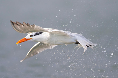 royal tern, June on Pea Island, Hatteras, NC