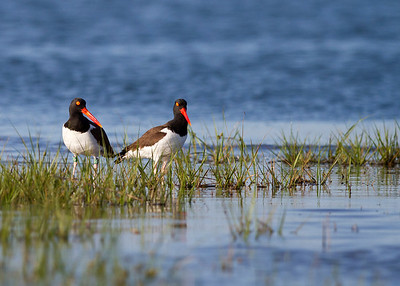 oyster catcher pair, June on Pea Island, Hatteras, NC
