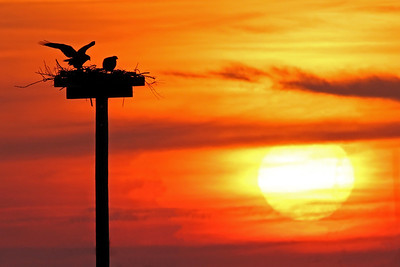 osprey pair watching sunset, April in Nags Head, NC