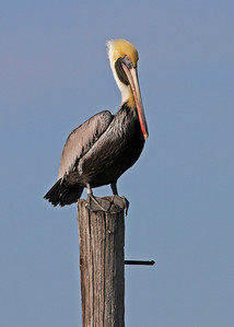 brown pelican, January in Pea Island NWR, Hatteras Island, NC