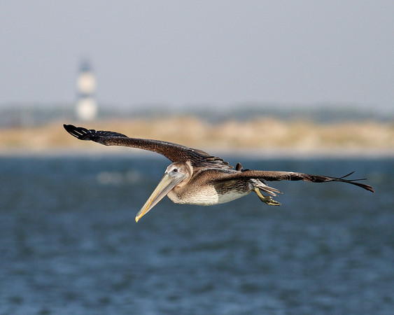 brown pelican over Oregon Inlet with Bodie Island lighthouse in background taken from Pea Island National Wildlife Refuge, Hatteras, NC