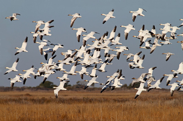 snow geese in January, Pea Island NWR, Hatteras Island, NC