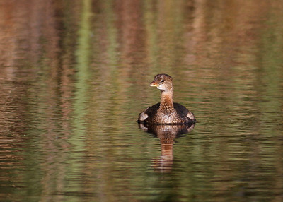pied billed grebe in canal, Alligator River Wildlife Refuge, Manteo, NC in October
