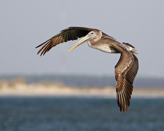 brown pelican over Oregon Inlet, taken in October from Pea Island, Hatteras, NC