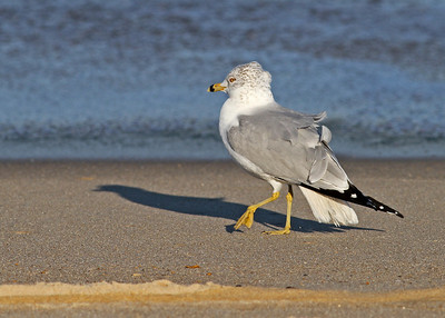 ring-billed gull in January, Nags Head, NC