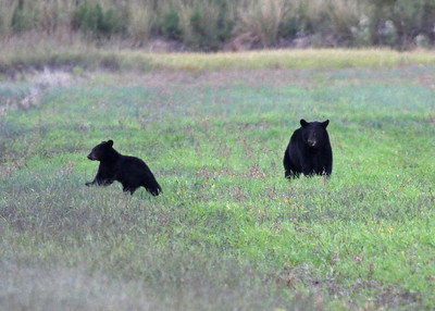 black bear sow and cub, Alligator River wildlife Refuge, Manteo, NC in October