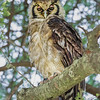 Verreaux Eagle Owl
