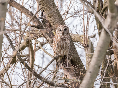 Barred Owl 1 April 2018-4783