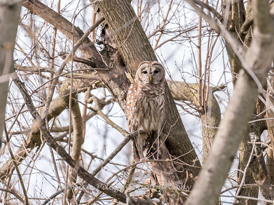 Barred Owl 1 April 2018-4793