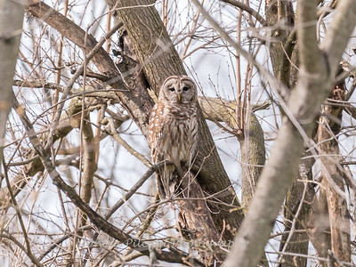 Barred Owl 1 April 2018-4776