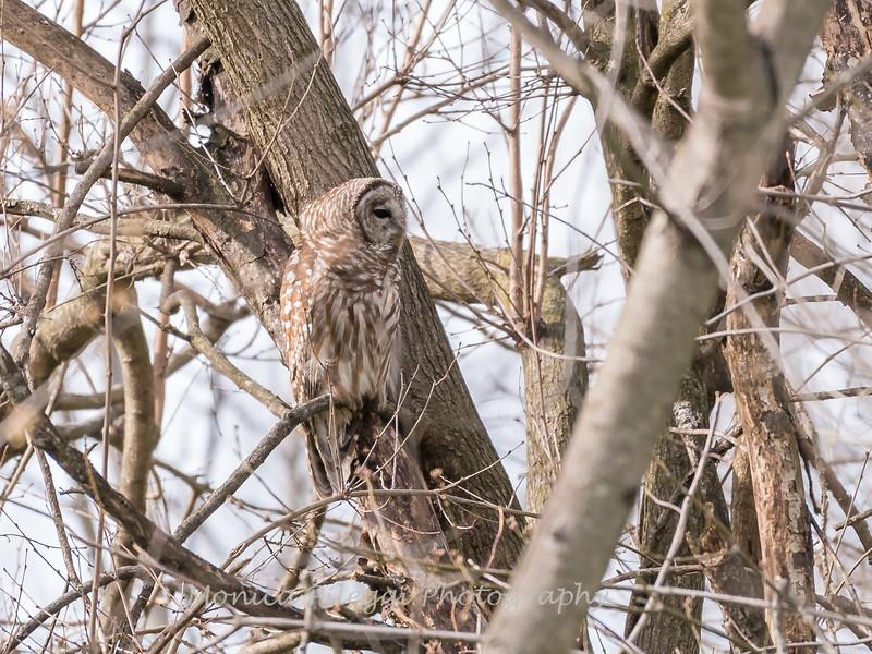 Barred Owl 1 April 2018-4789