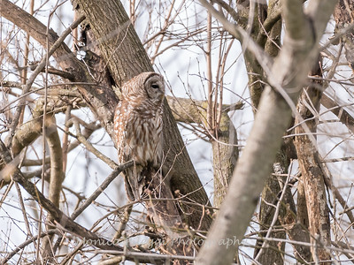Barred Owl 1 April 2018-4789