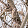 Barred Owl 1 April 2018-4794