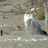 Snowy Owl (juvenile)