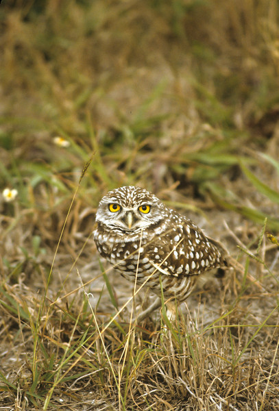The Burrowing Owl are very curious and less fearful of strangers.
