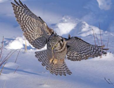 Hawk Owl 7
