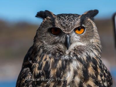 Owls-12 Nov 2016-5902