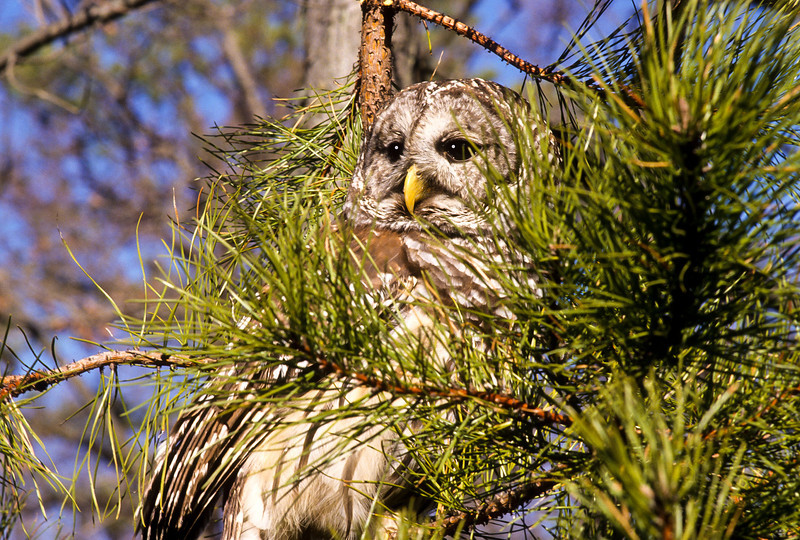 A very shy Barred Owl, hiding among the branches.