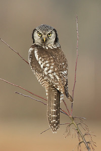 Northern Hawk Owl 016