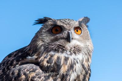 Owls-12 Nov 2016-5921