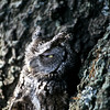 What an awesome image.  This Screen Owl blends in with the habitat and cannot be seen.