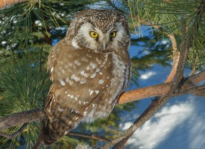 Boreal Owl 9