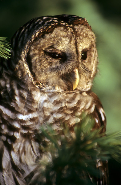 Owls can turn their heads 180 degrees which helps with looking for prey.  The Barred tend to fly close to the grown when hunting