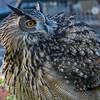Owls-12 Nov 2016-5679