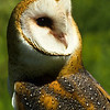 Barn Owls are called by many names, White Owl, Silver Owl, Short Owl, Death Owl and Night Owl.  Some of the names come from the barn owls ability to fly silently.