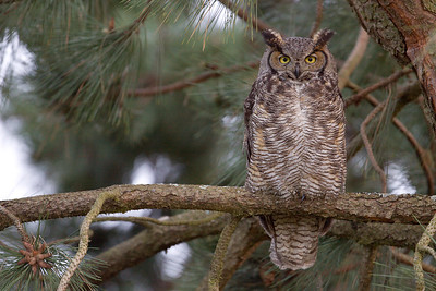 Great Horned Owl 0030