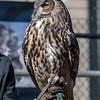 Owls-12 Nov 2016-5763