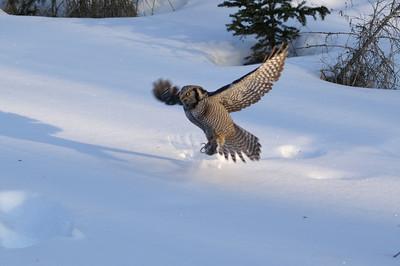 Hawk Owl 5