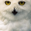The face of a hunter.  Snowy Owls have a thick plumage and they have feathered feet which are helpful in snow.