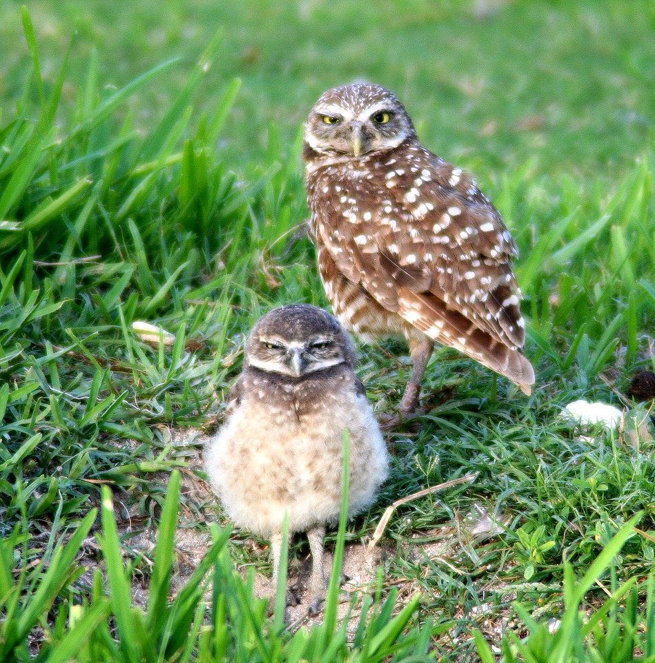 burrowing ground owl