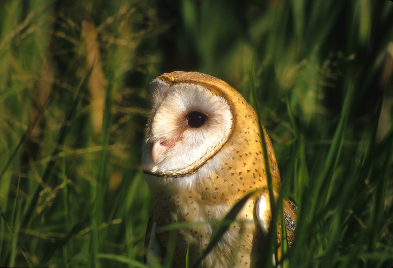 The Barn Owl waits with great patience for prey.