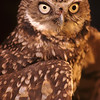 A very nice Burrowing Owl portrait.