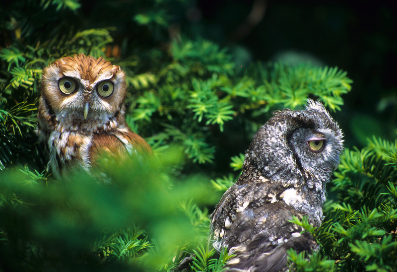 The green background only enhances the colors of these Screech Owls.  They enjoy insects, small mammals and mice