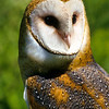 "The Barn Owl does not ""Hoot,"" rather a ""Shree"" scream.  It is a bit scary."