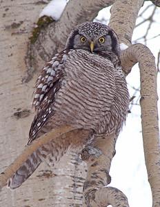 Hawk Owl 2