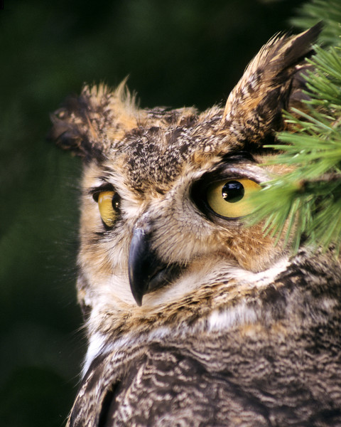 "The Great Horned Owl with his large tufts of feather and intelligent face maintain our favorite cry, ""HO HO HOO HOO HOO."""